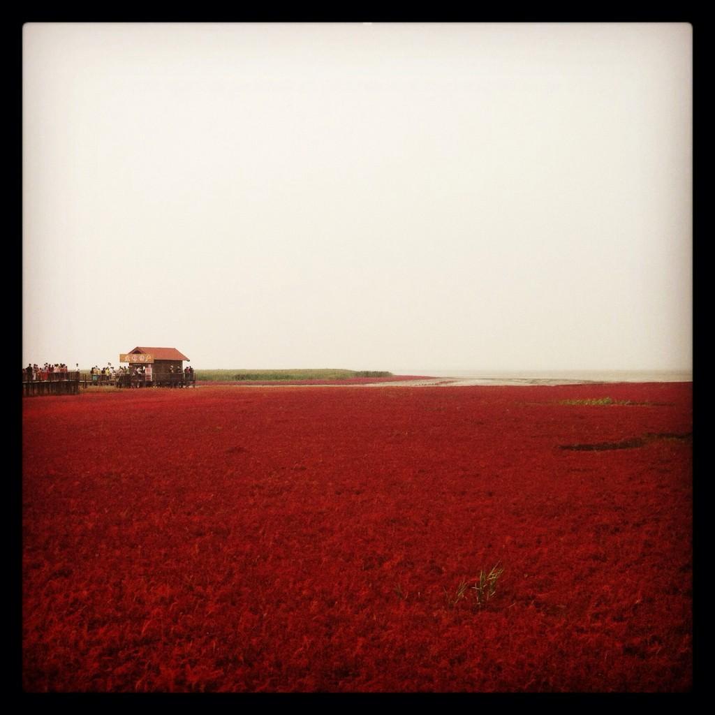 Red Beach (红海滩, hong hai tan) in Panjin (盘锦), Liaoning.