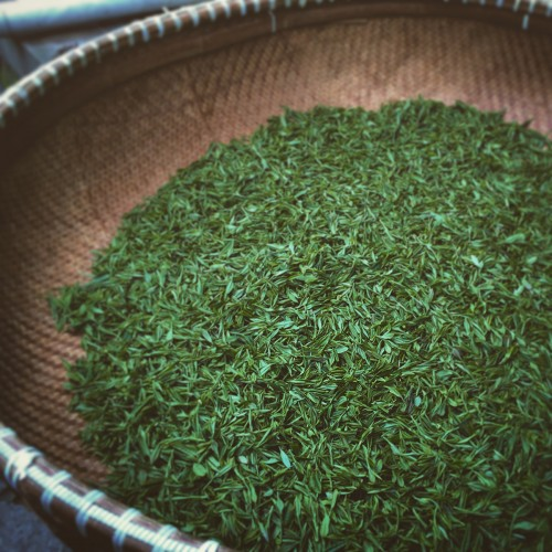 Tea leaves, freshly picked and dried.