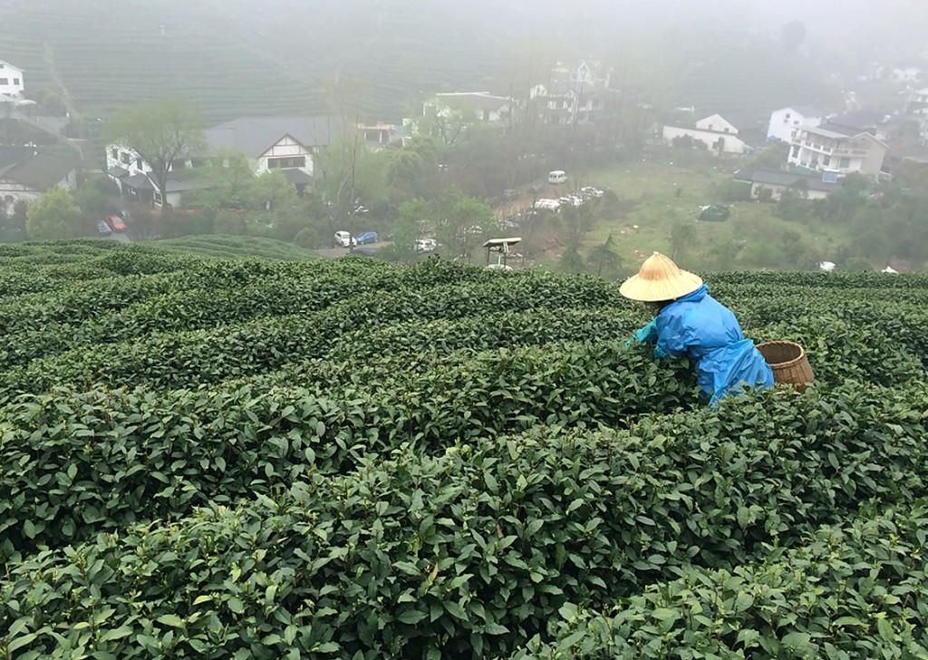 Picking tea leaves.
